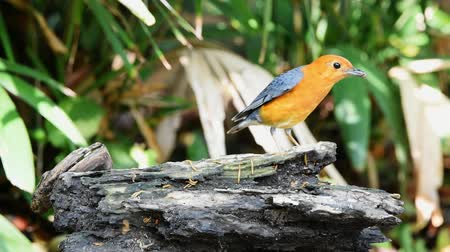feathered : Bird (Orange-headed thrush, Geokichla citrina) bentirely orange head and underparts, uniformly grey upperparts and wings, and white median and undertail coverts perched on a timber in the garden Stock Footage
