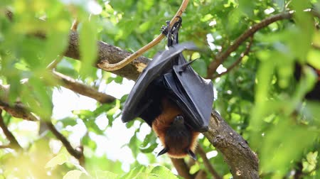 downwards : Bat (Lyles flying fox, Pteropus lylei or Pteropodidae) perched hanging on a tree in a nature wild Stock Footage