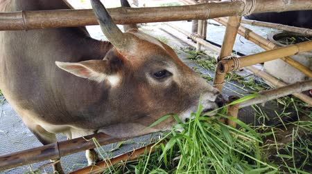 Ox or cow is eating green grass in farm Thailand. 動画素材