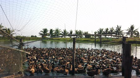 peking : Duck in farm, eat and swimming in marsh, traditional farming in Thailand, 4K ultra HD.