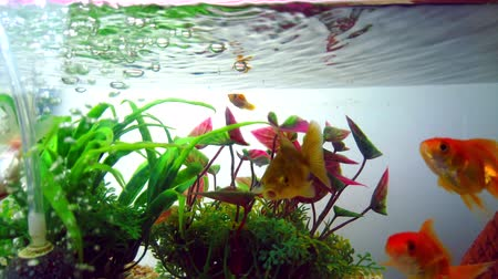 Gold fish or goldfish floating swimming underwater in fresh aquarium tank with green plant. marine life. 4K ultra HD.