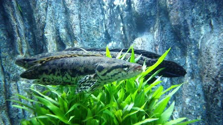 Blotched snakehead (Channa lucius) or Forest snakehead fish in fish tank or aquarium, 4K.