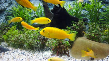 malawi : Electric yellow cichlid (Labidochromis caeruleus) or lemon yellow lab the blue streak hap in fish tank or aquarium, 4K