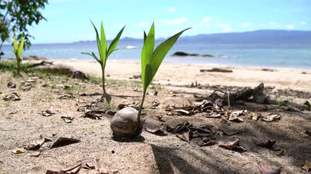 anka kuşu : A sprout of coconut palm tree on the seashore