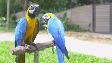 ara : Exotic parrots Ara eat nuts sitting on a rack stand Stock Footage