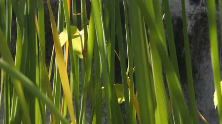 juncos : Natural reed close-up view, Backgrounds