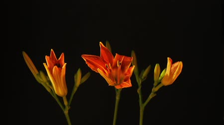 flor cabeça : Time lapse of opening three orange lily flowers against black background
