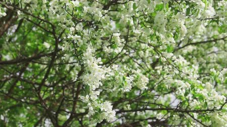 luxuriantly : Branches of luxuriantly blooming apple tree