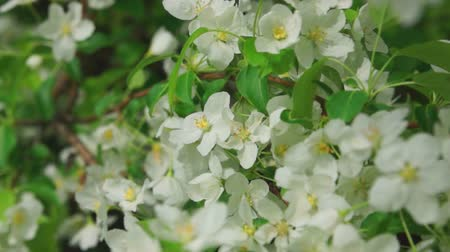 luxuriantly : Blossoming flowers of apple tree in springtime Stock Footage