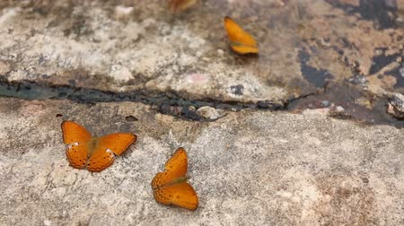 Group of butterfly suck eat mineral and nutrients on sand with Insect , Pang Sida National Park, Thailand Стоковые видеозаписи