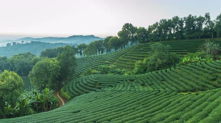 Time lapse of 101 tea plantation at Doi Mae Salong it is a popular tourist destination of Chiang Rai Thailand. It is a hillside plantation with beautiful scenery.