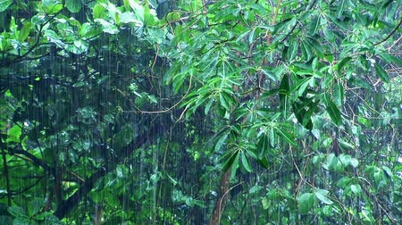 outdoor : Rain in summer tropical forest. Nature outdoor.  Shooting from a tripod.