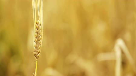 хлеб : Golden ripe wheat in the farm field, moving in the blowing wind during the hot sunny day