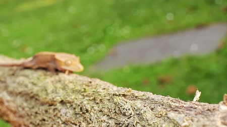 ящерица : A little orange colored baby lizard gecko moving through the scene on the branch