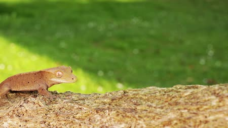 ящерица : A little orange colored baby lizard gecko moving through the scene on the wooden branch