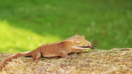 skin brown : A little orange colored baby lizard gecko moving through the scene on the wooden branch