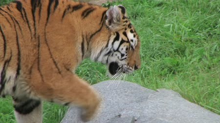 prowl : Close-up of exotic siberian tiger walking and watching, while in captivity.