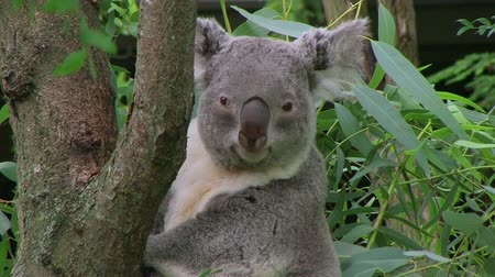 yırtıcı hayvan : Adult koala bear uses sharp claws to climb up tree and onto branch. Stok Video