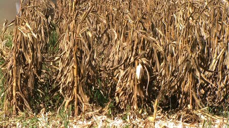 milho : Combine headers cutting through rows of cornfield, with external audio.