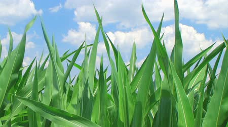kukorica : Close-up of corn against beautiful blue summer sky, with gentle breeze.