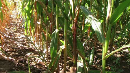 кукуруза : Cornstalk shows yield at end of summer growing season, nearing harvest.  Стоковые видеозаписи