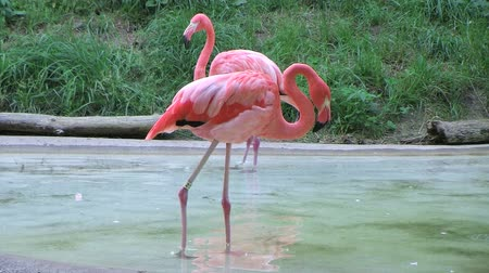 flaming : Flamingo wading in shallow pool of water, uses its long neck for cleaning its feathers.