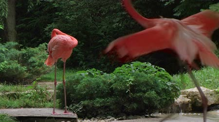 çiftleşme : Pink American flamingo running while displaying mating ritual behavior.