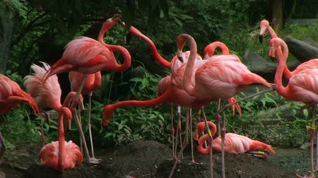 flaming : Pink American flamingo mating ritual behavior within small colony.