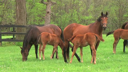 hemşirelik : Beautiful group of mares grazing, with foal nursing in early spring. Stok Video
