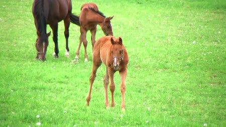égua : Beautiful young foal walking in pasture with other foals and horses.
