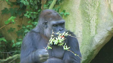 captivity : Western Lowland Silverback Gorilla eating leafy branch while on guard.