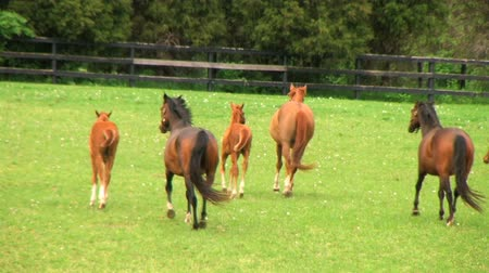 koń : Group of beautiful mares and foals startled in rain and begin running.