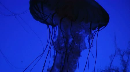 captivity : Jellyfish swimming in aquarium, with its tentacles gently floating.