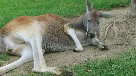 ausztrál : Adult male kangaroo laying down and sleeping in dirt to keep cool.