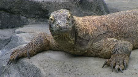olhares : Komodo dragon, largest living species of lizard, looking around while laying on rock.