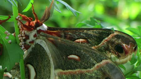 owady : Macro of adult male cecropia moth, largest in North America, mating in captivity.