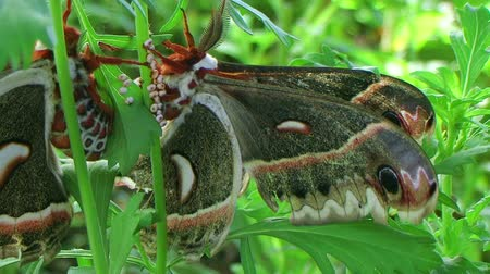 çiftleşme : Giant cecropia moths, largest in North America, mating in lush garden.