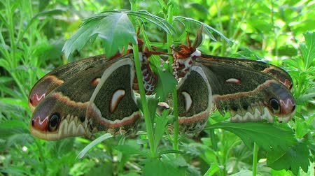 captivity : Giant cecropia moths, largest in North America, mating in lush garden.