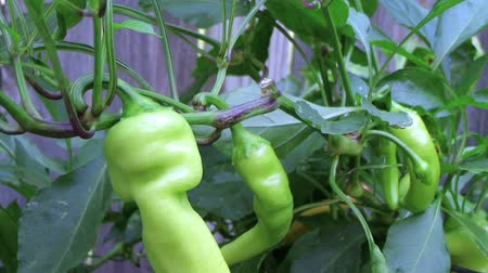 pimentas : Close-up of banana pepper plant during height of growing season in vegetable garden, with motion.