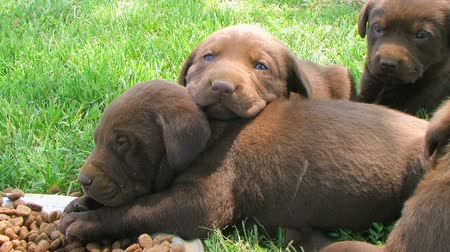 щенок : Cute little Chocolate Labrador Retriever puppies resting on each other.