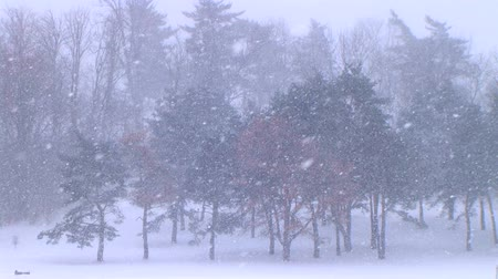 pinho : Serene winter setting of large pine trees in blustery snowstorm in March.