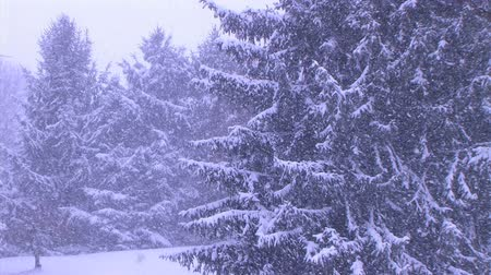 beállítás : Pine trees covered with heavy snow during late winter snowstorm in March.