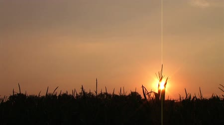сумерки : Time-lapse of beautiful sunset behind silhouette of large cornfield. Стоковые видеозаписи