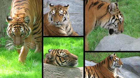 kaplan : Montage of endangered siberian tiger yawning, prowling and hunting. Stok Video