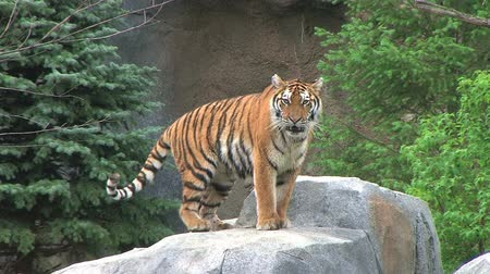 kaplan : Exotic siberian tiger walks around and lays down, taking his throne. Stok Video