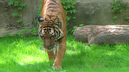 captivity : Beautiful exotic siberian tiger walking and watching, while in captivity.