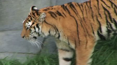 kaplan : Close-up of exotic siberian tiger walking and watching, while in captivity.
