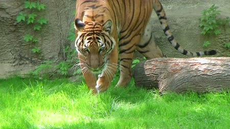 prowl : Beautiful exotic siberian tiger walking and watching, while in captivity.