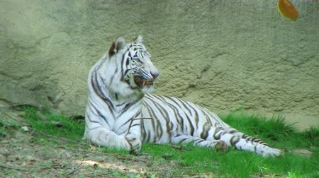 captivity : White tiger chewing on leafy branch and gets something stuck in his teeth.