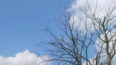 stratosphere : Time lapse of clouds rolling past dead tree through bright blue sky.